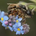 Vergissmeinnicht mit Mauerbiene