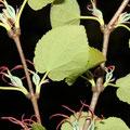 Kuchenbaum-Blüten-Blätter-Cercidiphyllum japonicum