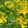 Johanniskraut-Heilpflanze