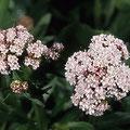 Baldrian-Heilpflanze