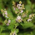 Nesselblättriger Ehrenpreis (Veronica urticifolia)