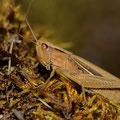 Weißrand-Grashüpfer (Chorthippus albomarginatus)