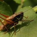 Roesels Beißschrecke (Metrioptera roeselii) M
