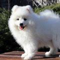 щенок, японский шпиц, питомник, ноктюрн догс, купить щенка шпица