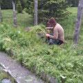 Setzlinge ausmähen Pflanzgarten
