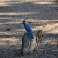 Blue Jay am Rocky CG, Lassen NF