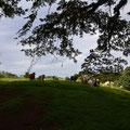 40 Stiere auf der Weide, über die wir laufen müssen
