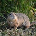Prairie-Dog sind unsere Kellerbewohner