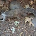 An Touristen gewöhnte Ground-Squirls oder Tannenzapfen auf 4 Beinen mit Nadelbüschel hinten.