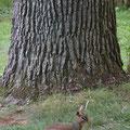 Dik Dik vor Baum Baum