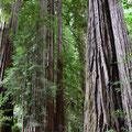 Redwood, genauer der Küsten-Redwood oder Sequoia