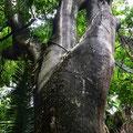 Nationalbaum Costa Rica´s, der Guancaste, einer der größten Regenwaldbäume