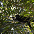 Die schwarzen Brüllaffen, hier die seltenste und nur in Belize vorkommende Art.