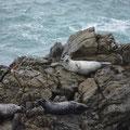 Shelter Cove/Kap Mendecino - Robben, die nicht nass werden wollen