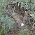 Eulen-Nest am Boden (wo sonst)  mit 4 Jungen
