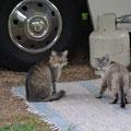 Nachbars Katzen auf dem Campground