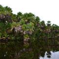 New River, sogenannte Maya-Palmen (die Palmwedel werden für die Dächer der Maya-Hütten verwendet)