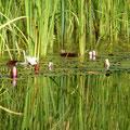 Seerosen im Schwimmteich von Maison Libellule
