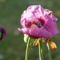 Mohnblumen im Garten von Maison Libellule