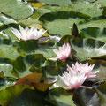 Seerosen im Teich von Maison Libellule