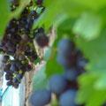 Des raisins, le vin n'est pas loin..