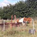 Eigentlich sollten die Pferde nur den Eingangsbereich der großen Sommerweide abfressen...