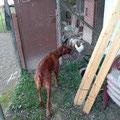 Filou und seine Hühner :-)
