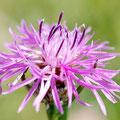In der Samenmischung sind u. a. Wiesen-Flockenblume, ...