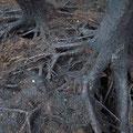 Das Feuer hat sich zwischen den Wurzeln der Birken z. T. tief in den Torfboden gefressen.