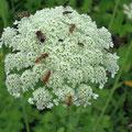 Weiße Blütendolden besitzen eine hohe Anziehungskraft z. B. für Schwebfliegen.
