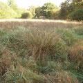 Nach jahrelanger Brache dominieren Binsen und unterdrücken die Reste der Feuchtwiesenvegetation.