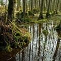 """Kleiner Erlenbruchwald im vereinseigenen Wald """"Hölle"""".  Das Waldgebiet wird nicht mehr forstwirtschaftlich genutzt und darf sich ungestört entwickeln."""