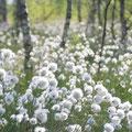 Das Dosenmoor - seit der Ausweisung als Naturschutzgebiet beobachten und dokumentiere Mitglieder der NABU-Gruppe Neumünster e.V. die Entwicklung der Vogelwelt des Moores. Durch den Ankauf von Flächen soll der Schutz des Moores dauerhaft gesichert werden.