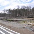 五戸川河口(右岸)津波により傾いた松林