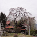 上部と東の枝が腐ってました