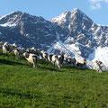 Schafherde vor dem Gipfel des Tschigat