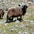 Schafe im Zufritttal