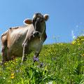 Milchlieferant der Ragazalpe