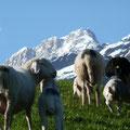 Schafe mit Jungen vor dem Gipfel des Lodner