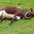 Relaxte Kuh beim Eishof