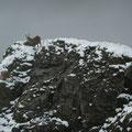Steinböcke am Gipfel
