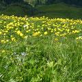 Trollblumen am Glatthorn