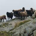 Schafe bei der Königshof Alm