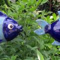 Langfische