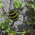 Tiger-, oder Wespenspinne, das interessante ist die merkwürdige zickzackspur unten in der Mitte die man auf diesem Bild sehr deutlich erkennt!