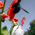 Blaue Holzbiene, die eigentlich schwarz ist, aber bei Sonnenschein blau aussieht. Die Figur einer Hummel hat, und bei deren Gebrumme man ganz schön erschrickt!