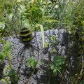 Tiger-, oder Wespenspinne