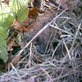 Wer sieht ihn? Das ist unser Saisongast, der kleine Igel!