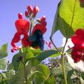 Eigentlich hält sich die blaue Holzbiene eher in mediteranen Gegenden auf!
