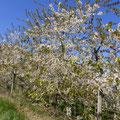 Kirschplantage © Hartmut Hermanns